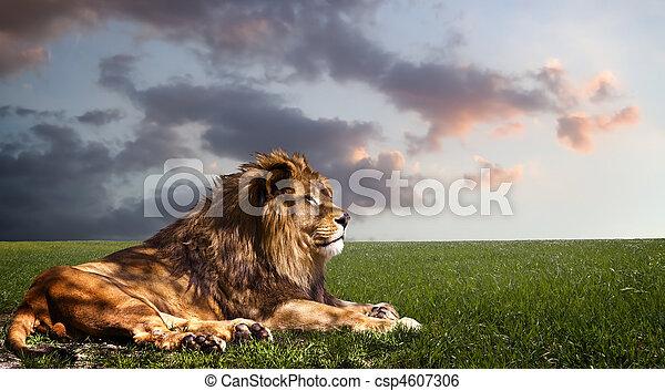 Poderoso león descansando al atardecer. - csp4607306
