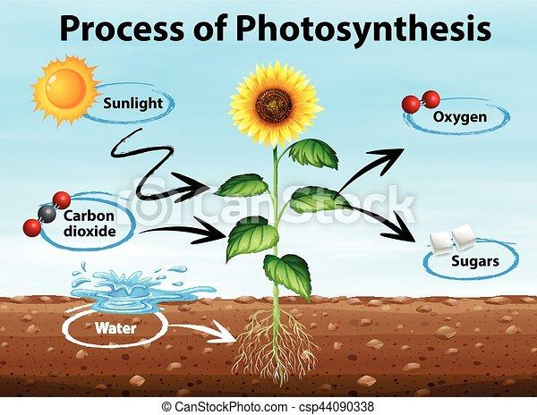 Diagrama muestra proceso de fotosíntesis - csp44090338