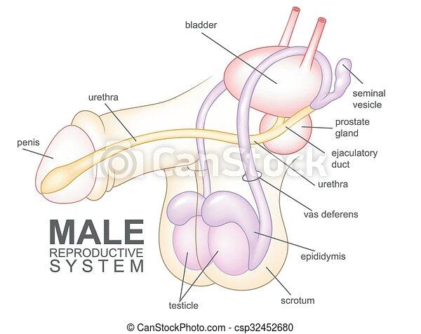 Dibujos del sistema reproductivo masculino - csp32452680