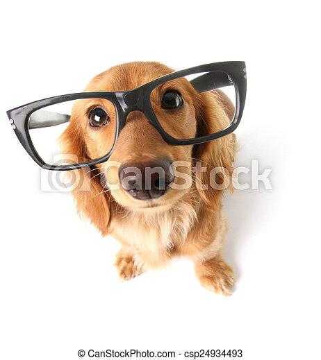 Divertido perro salchicha. - csp24934493
