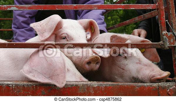 La agricultura de los animales de cerdo - csp4875862