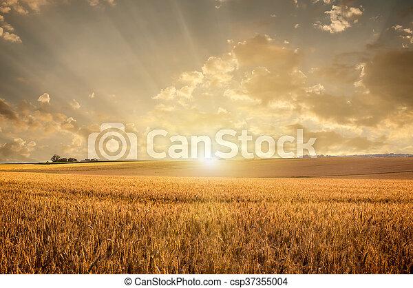 Campo de trigo dorado - csp37355004