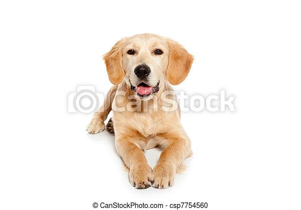 El perro perro perro Golden Retrechista aislado en blanco - csp7754560