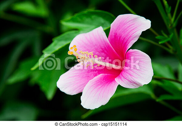 El hibico rosa vivo está floreciendo - csp15151114