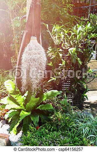 El musgo español cuelga en el jardín - csp64156257