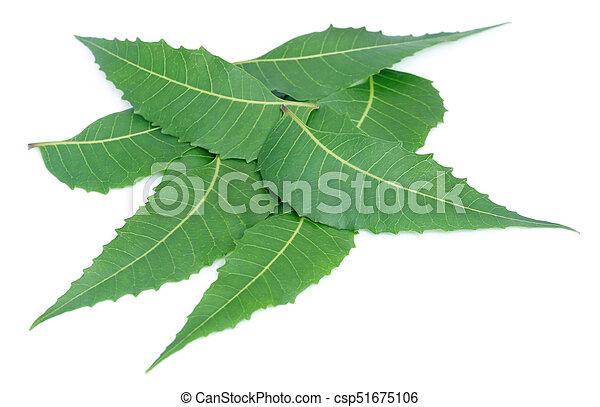 El neem medicinal se va - csp51675106
