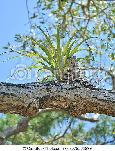 epiphyte, bromelia, planta - csp79562999