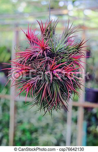 epiphyte, crecer, branch., airplant, tillandsia, o - csp76642130