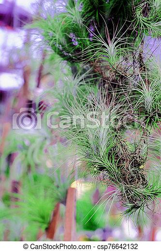 epiphyte, crecer, branch., airplant, tillandsia, o - csp76642132