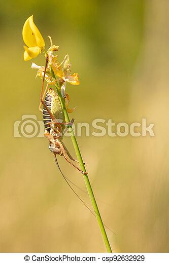 escoba, tallo, grande, saltamontes, o, epiphyte, macho - csp92632929