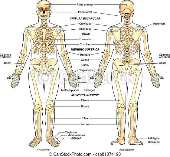 esqueleto, humano - csp81074190