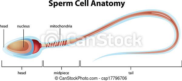 Estructura celular de esperma - csp17796706