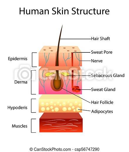 Estructura de piel humana, ilustración vectorial - csp56747290