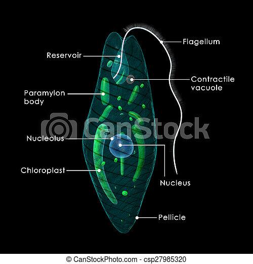 Euglena - csp27985320