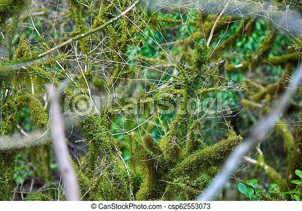 famoso, (buxus, boj, colchis, colchica), musgo, cubierto, subtropical, neckera, árbol hoja perenne - csp62553073