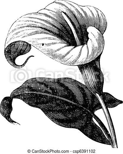 Zantedeschia aethiopica o Richardia Africana, flor, grabado vintage. - csp6391102
