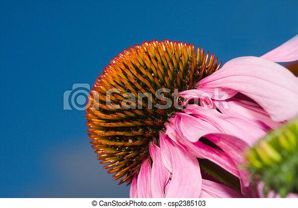 Flor de cono (echinacea) - csp2385103