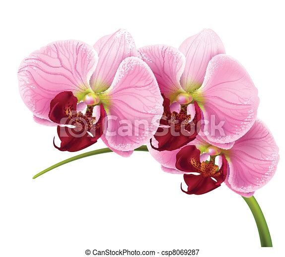 La rama de la flor de la orquídea vector aislado - csp8069287