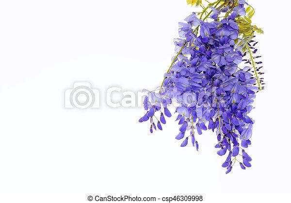 Wisteria flores elemento de diseño floral. - csp46309998