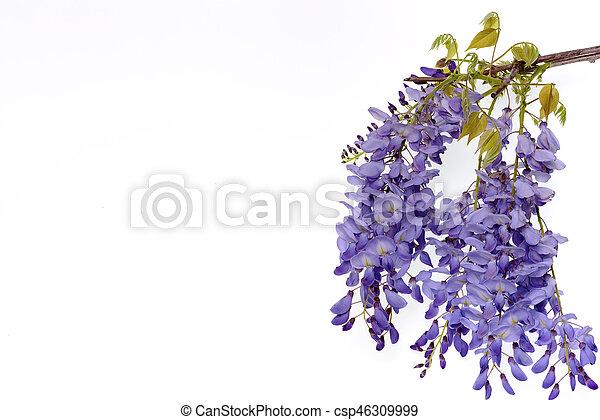 Wisteria flores elemento de diseño floral. - csp46309999