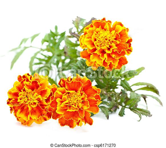 Flores - csp6171270