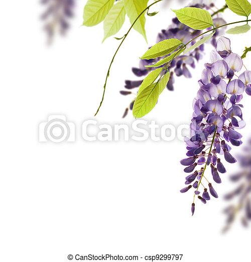 Flores de Wisteria, hojas verdes bordean un ángulo de página sobre un fondo blanco. Un elemento decorativo - csp9299797
