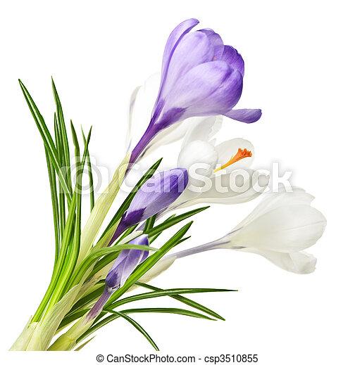 Flores de cocodrilo de primavera - csp3510855