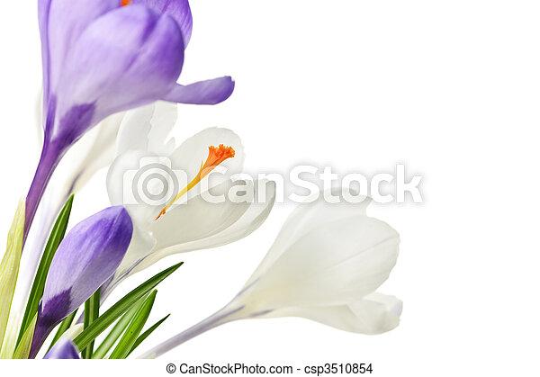 Flores de cocodrilo de primavera - csp3510854