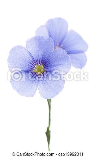 Flores de lino - csp13992011