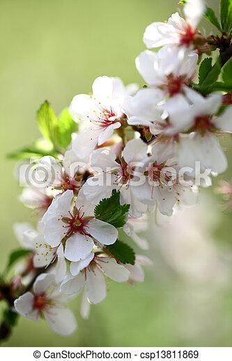 Flores de manzana - csp13811869