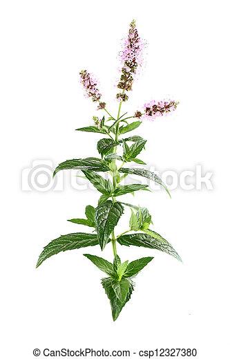 Flores de menta - csp12327380