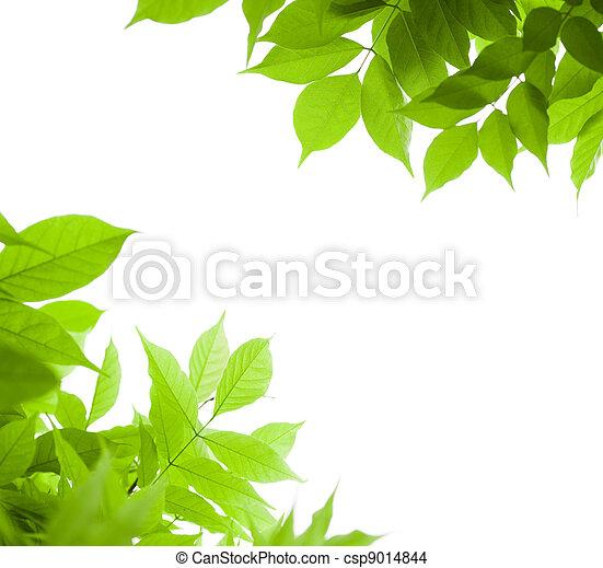 El verde deja la frontera por un ángulo de página sobre un fondo blanco, hoja de la Wisteria - csp9014844