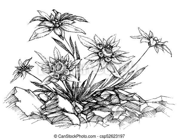 Edelweiss etch - csp52623197