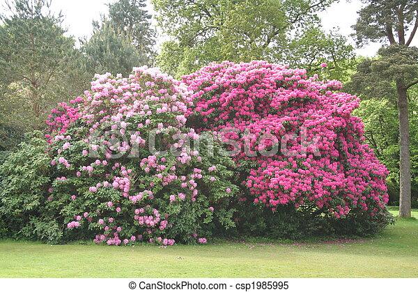Grandes arbustos de rododendros. - csp1985995