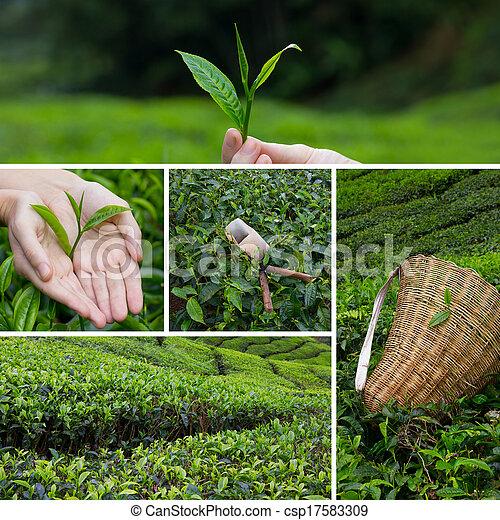Hermosa colección de arbustos de té en plantación y cosecha de manos - csp17583309