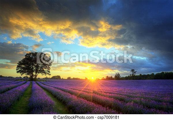 Hermosa imagen de hermoso atardecer con nubes atmosféricas y cielo sobre campos de lavandería en el paisaje del campo inglés - csp7009181