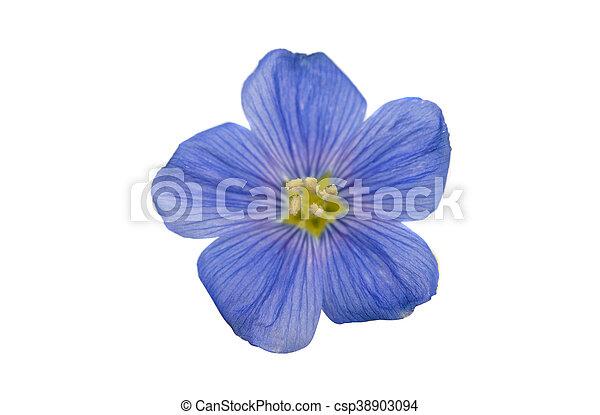 Hermosas flores de lino aislado - csp38903094