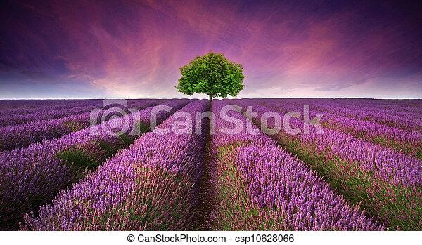 Una hermosa imagen del campo de lavanda, un paisaje de sol de verano con un solo árbol en el horizonte contrastando colores - csp10628066