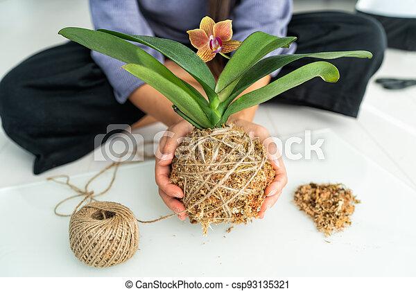hogar, musgo de sphagnum, pelota, orquídea, aire, kokedama, elaboración, yute, diy, rope., planta, mujer, japonés, jardinería, flotar - csp93135321