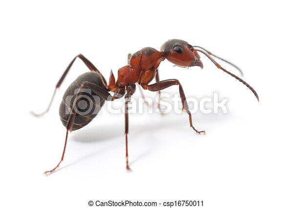 Hormiga roja aislada - csp16750011