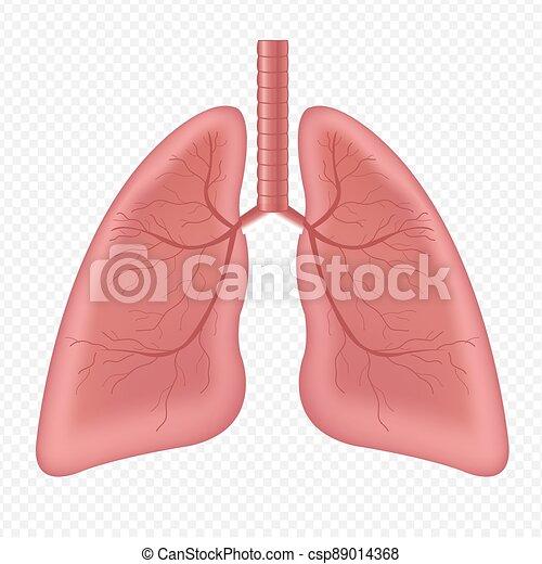 humano, aislado, órgano, plano de fondo, interno, pulmones, blanco - csp89014368