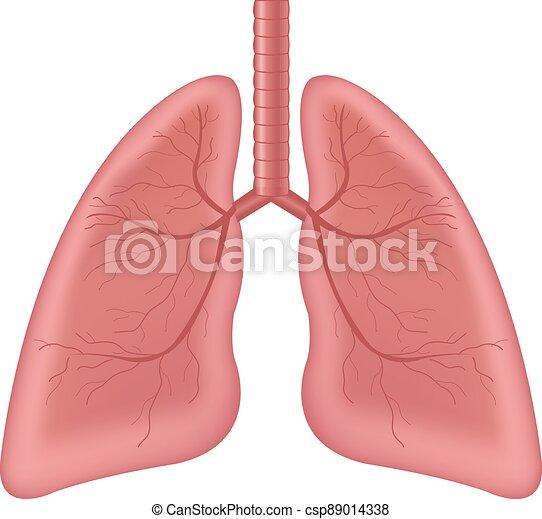 humano, aislado, órgano, plano de fondo, interno, pulmones, blanco - csp89014338