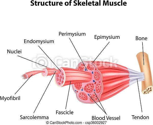 Ilustración de esqueleto estructural - csp36002927