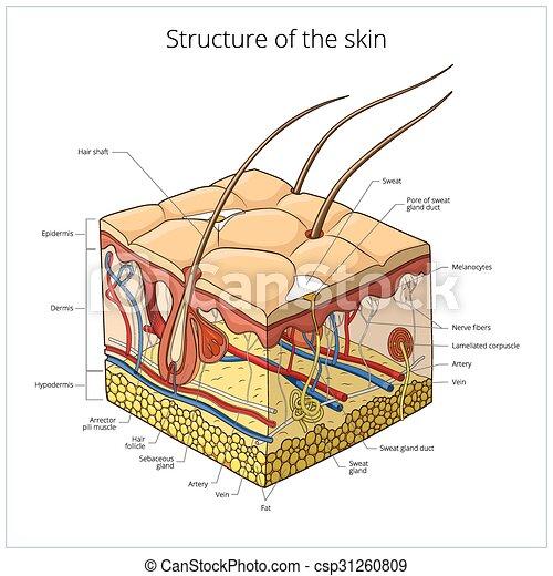 Ilustración de vectores de piel - csp31260809