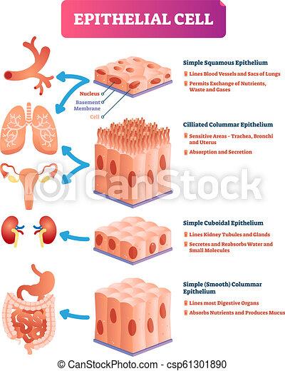 Ilustración de vectores epiteliales. Ubicación médica y diagrama significativo. - csp61301890