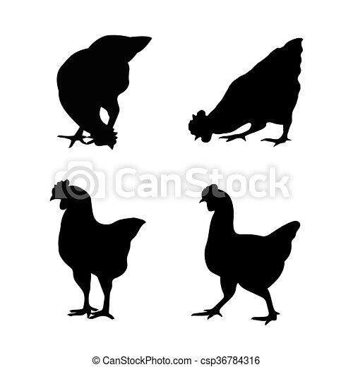 Imágenes de un pollo en un fondo blanco. - csp36784316