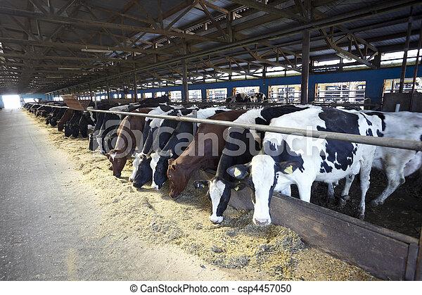 La agricultura de vacas leche bovina - csp4457050