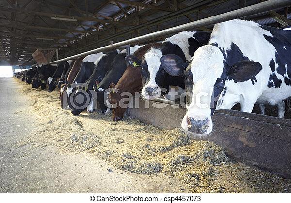 La agricultura de vacas leche bovina - csp4457073