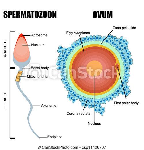 La estructura de los juegos humanos: huevos y esperma - csp11426707