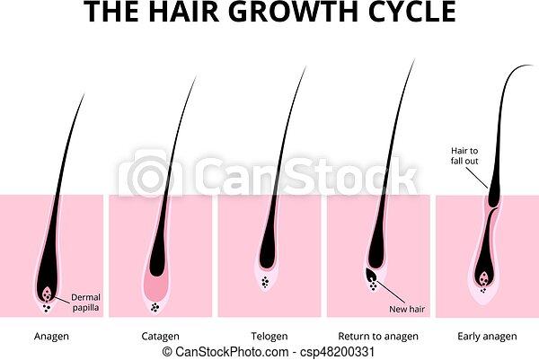 La estructura del pelo - csp48200331